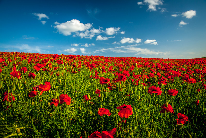 Froxfield Poppies