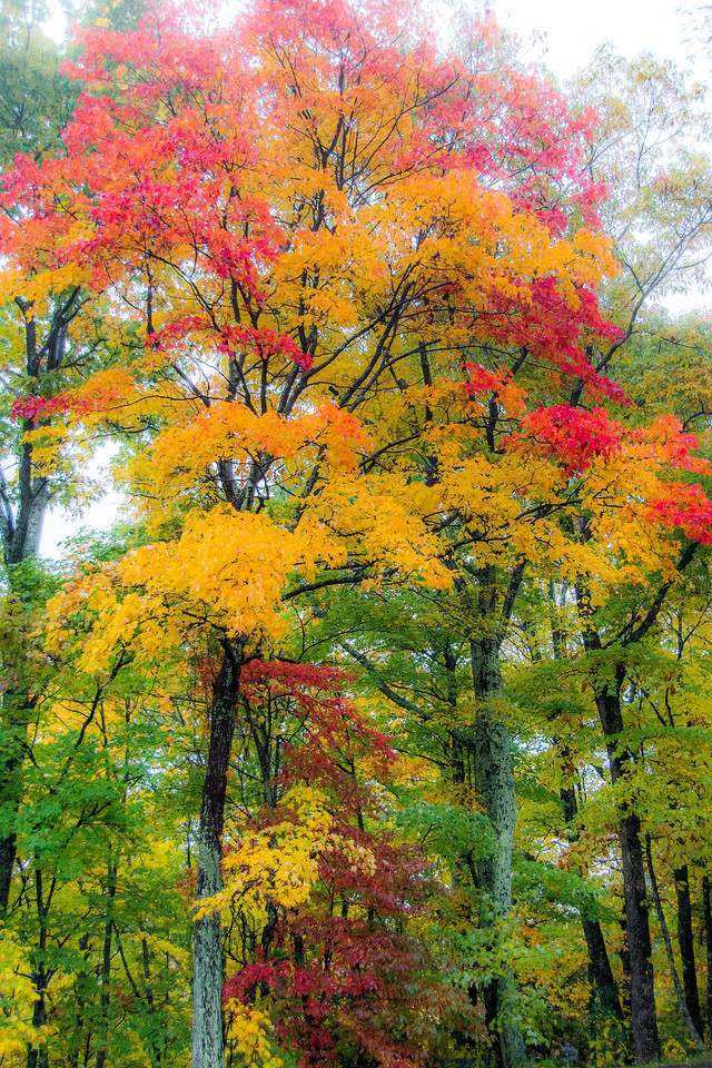 20x30-Fall Colors-Tree