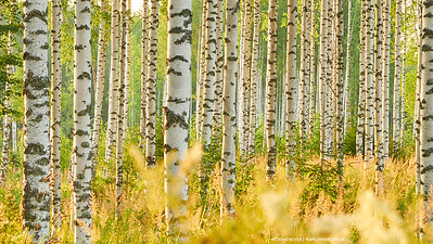 Birch forest in Karelia, Finland