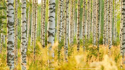 Birch forest in Karelia, Finland
