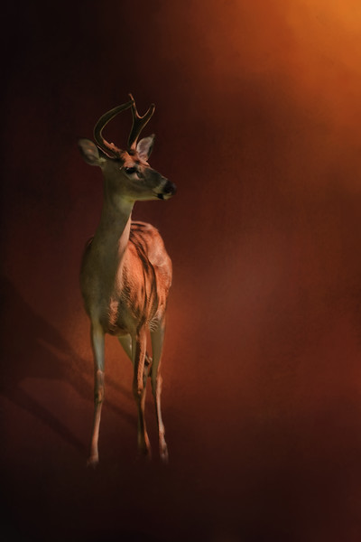 young buck by Jerry Dalympl