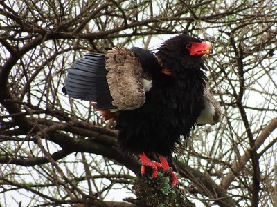 Serengeti: The Bateleur