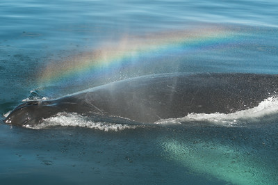 Humpback whale with rainbow blow