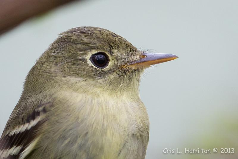 Yellow-bellied Flycatcher_9640
