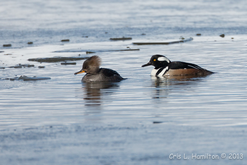 Hooded Merg Pair-4522