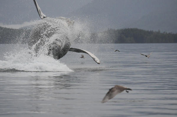"""© 2012 Jackie Hildering-3358 -  This humpback is """"Inukshuk"""" BCZ0339, breaching. You can imagine the pattern on the tail that would inspire this appropriate nickname.  For a previous blog item of mine about why whales jump see """"Might As Well Jump"""" http://themarinedetective.com/2011/09/04/might-as-well-jump/"""