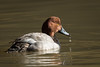 Canvasback-6981