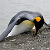 I Think I Can - King Penguin St Andrews Bay South Georgia Island Sub-Antarctic Region