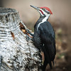 Pileated Pecker of Wood