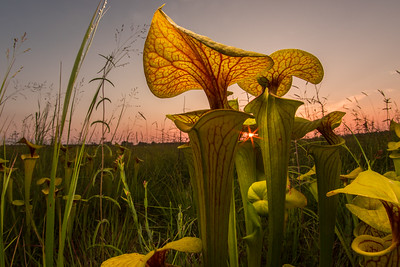 Yellow pitcher plants (Sarracenia flava) growing in a North Carolina bog. These plants attract insects to their 'pitchers' where glands secrete sap with narcotic properties. Drugged insects fall into the plant and drown in the water at the bottom of the pitcher, the plant is able to supplement its nutrition this way.