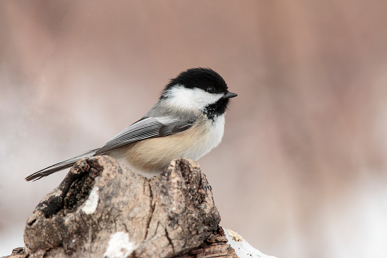Chickadee on a Pastel Background