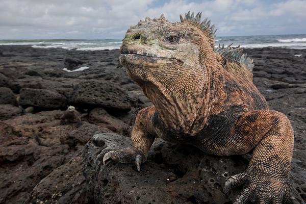 A male marine iguana (Amblyrhynchus cristatus) on a lava beach in the Galapagos Islands National Park, Ecuador.