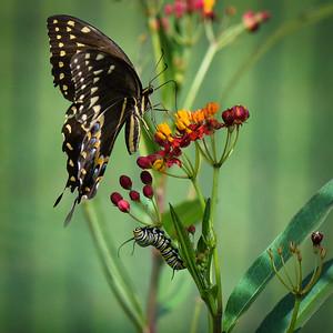 Swallowtail and Monarch Caterpillar
