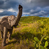 A friendly wave from a male elephant | South Africa