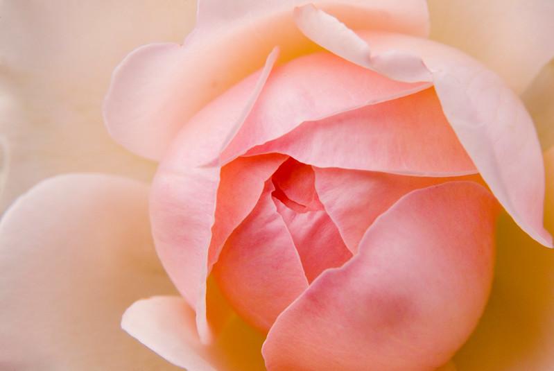 Baby's Bottom Rose