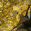 Aspen Fall Color