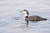 Red-Throated Loon - Juvenile?-5497