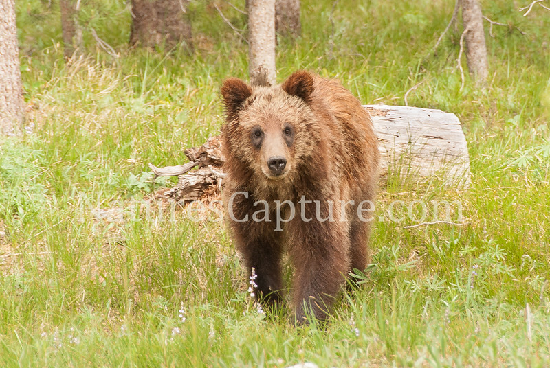 Grizzly Cub Please note all images have been greatly downsized for protection. Only the original high resolution images will be used for printing