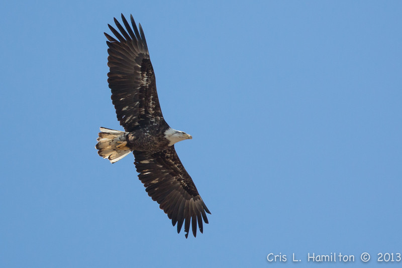 Harmarville Eagle_3222