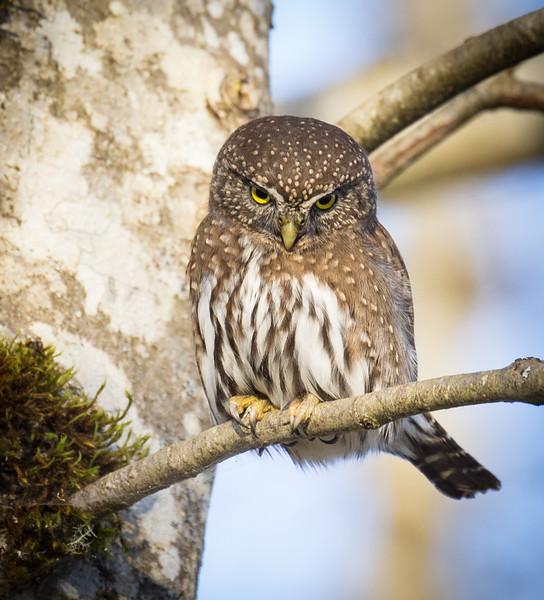 Northern Pygmy Owl-6719