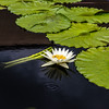 """General Pershing"" Waterlily"
