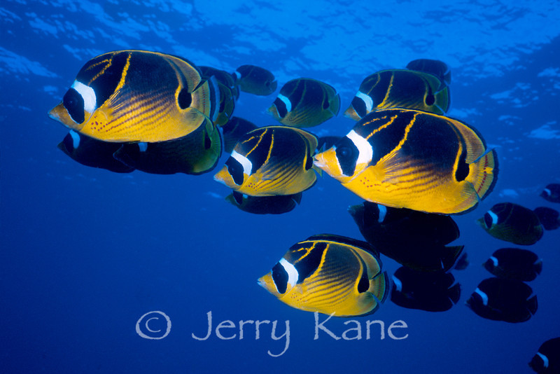 """Raccoon Butterflyfish (Chaetodon lunula) - Kaiwi Point, Big Island, Hawaii  To see more Hawaii butterflyfish, click <A HREF=""""http://sealifeimages.smugmug.com/gallery/4340860_ssjQL#145561423_X9c8b""""> here</a>"""