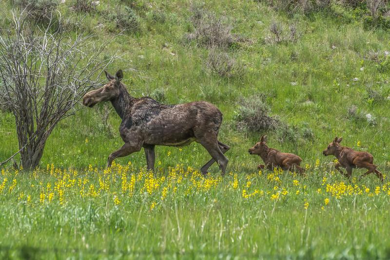 Moose Family, Tobacco Root Range, MT