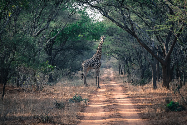 'Frame me up scotty' - This photograph of a giraffe under a row of Acacia trees is almost planned, but it's not. **The title is a take on a famous Star Trek line.