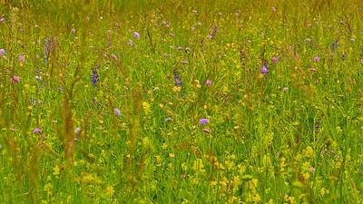 Wildblumenwiese  Wildflower meadow  - mehr dazu im Blog: Wildblumenwiese