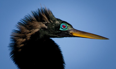 Breeding Eye of the Anhinga