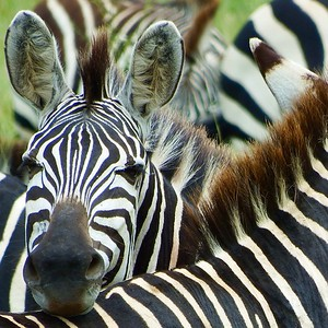 Plains Zebra is in Population Decline