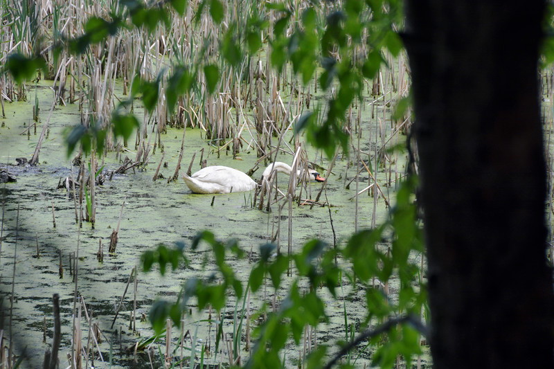 Sensitive Wildlife on the Bruce Freeman Trail West Concord  June 2020