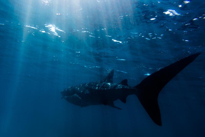 Overhead Whaleshark Sun Rays