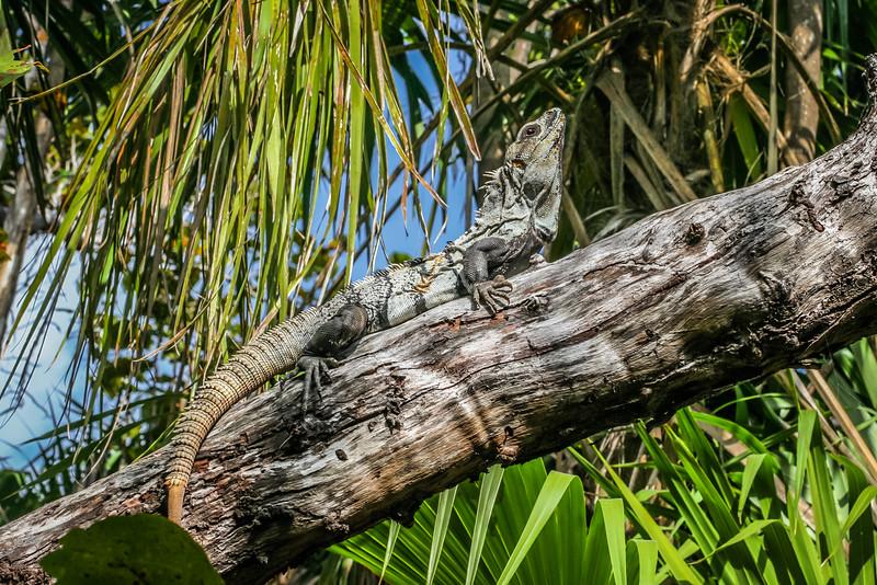 Basking Iguana