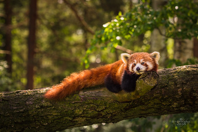 Red Panda daydreaming II