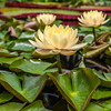 """Clyde Ikins"" Waterlily"