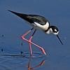 Black-necked Stilt Black-necked Stilt