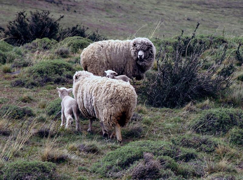 Patagonia - sheep