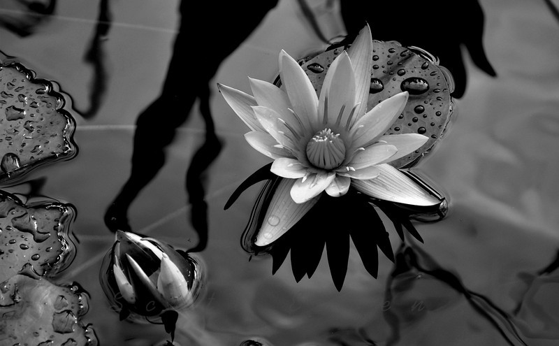 Water Lily<br /> <br /> Daily Photos  -  November 3, 2011