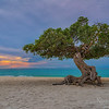 The Divi Divi Tree on Aruba Beach - fofoti tree