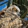 Portait of a Great Horned Owlet