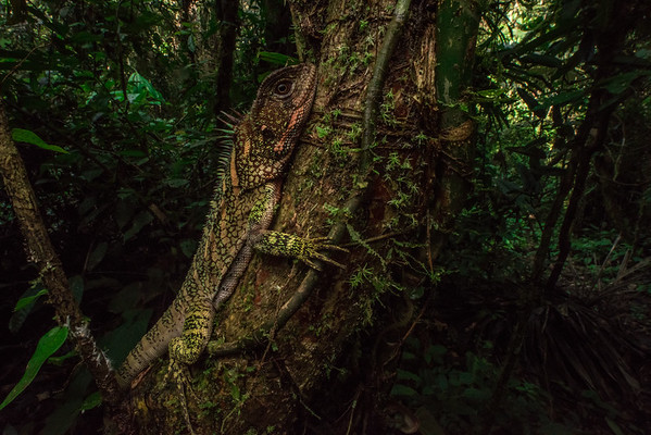 The Amazon wood lizard (Enyalioides laticeps) relies on its excellent camouflage to stay hidden in the verdant rainforest. Active during the day, they may sit motionless keeping an eye on their surroundings until they spot a tasty bug.