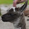 Baby Llama 1 - Inca Trail Peru
