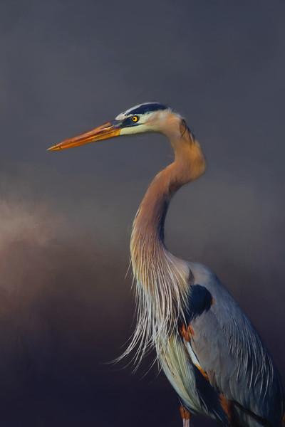 Great Blue heron - Lake Apopka