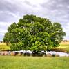 Sheepshade