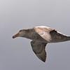 Southern Giant Petrel In Flight - South Georgia Sub Antarctic Region