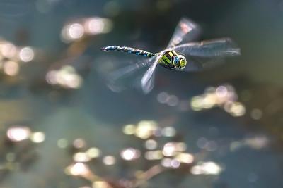 Southern Hawker (Aeshna cyanea) dragonfly