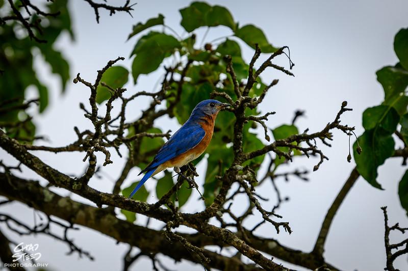 Blue Bird at Melton Hill Lake