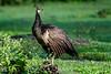 Female Peacock
