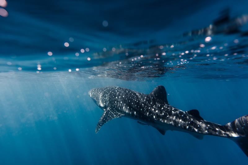 Whaleshark Surface Skimmer